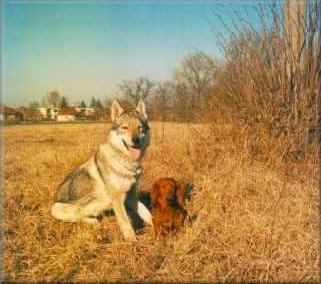 Tschechoslowakischer Wolfhund Bilder