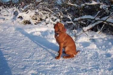 Drahthaariger Ungarischer Vorstehhund im Schnee