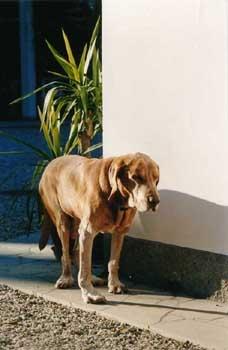 Ungarischer Vorstehhund Fotos