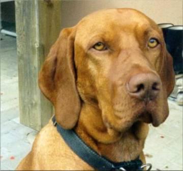 Drahthaariger Ungarischer Vorstehhund Portrait