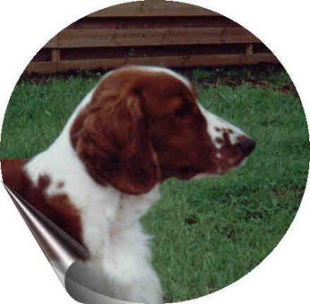 Welsh Springer Spaniel Bilder