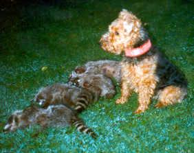 Welsh Terrier Bilder