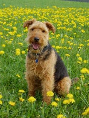 Welsh Terrier Bilder