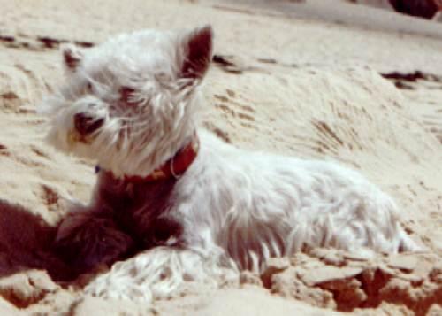 West Highland White Terrier Bilder