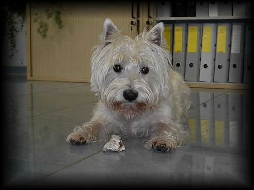 West Highland White Terrier Bilder
