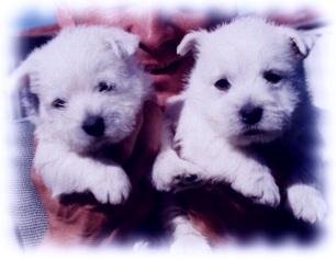 West Highland White Terrier Welpen Bilder