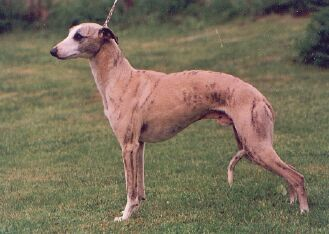 Whippet Hund