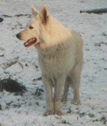 Weiße Schäferhund