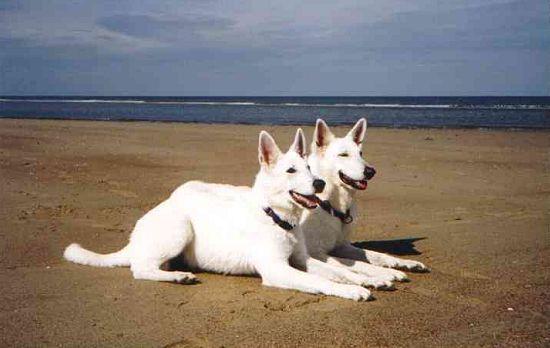 Weiße Schäferhund Bilder