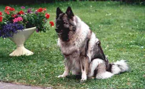 Wolfsspitz Hund Bilder