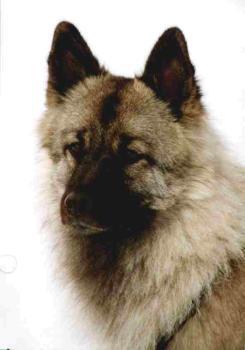 Wolfsspitz Bilder