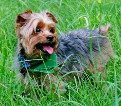 Yorkshire Terrier Bilder