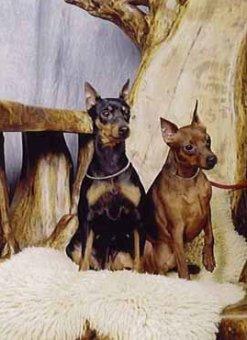 Zwergpinscher Hund