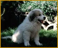 Go to Ursa's Signum Great Pyrenean Mountain Dogs