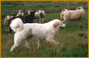 Go to Ursa's Signum Great Pyrenean Mountain Dogs ...