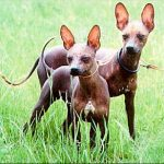 Xoloitzcuintle