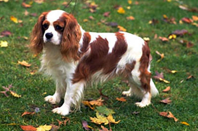 Cavalier King Charles Spaniel dog photo