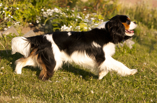Cavalier King Charles Spaniel in action