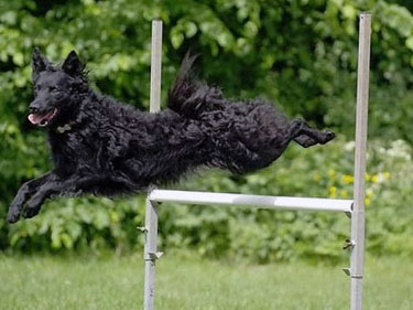 Croatian Sheepdog in action