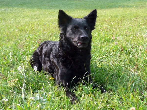 Croatian Sheepdog on grassy field