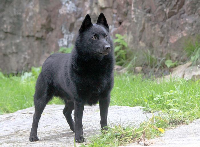 Croatian Sheepdog