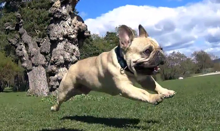 French Bulldog in action