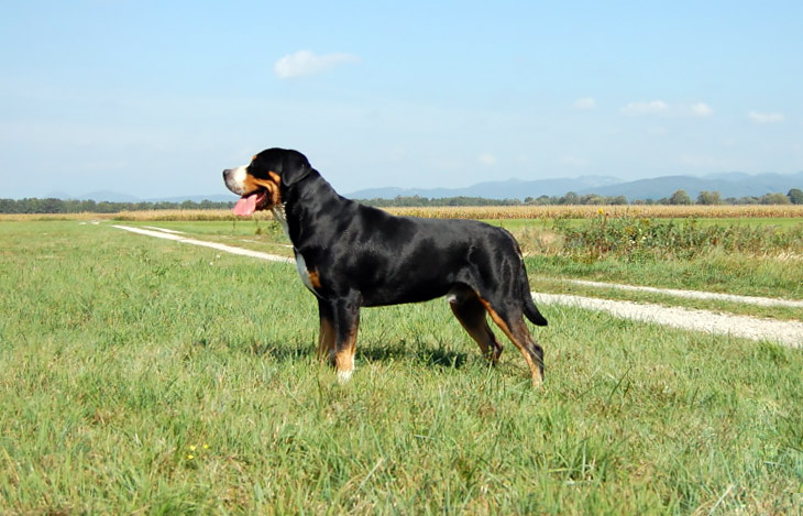 Great Swiss Mountain Dog on grassy field