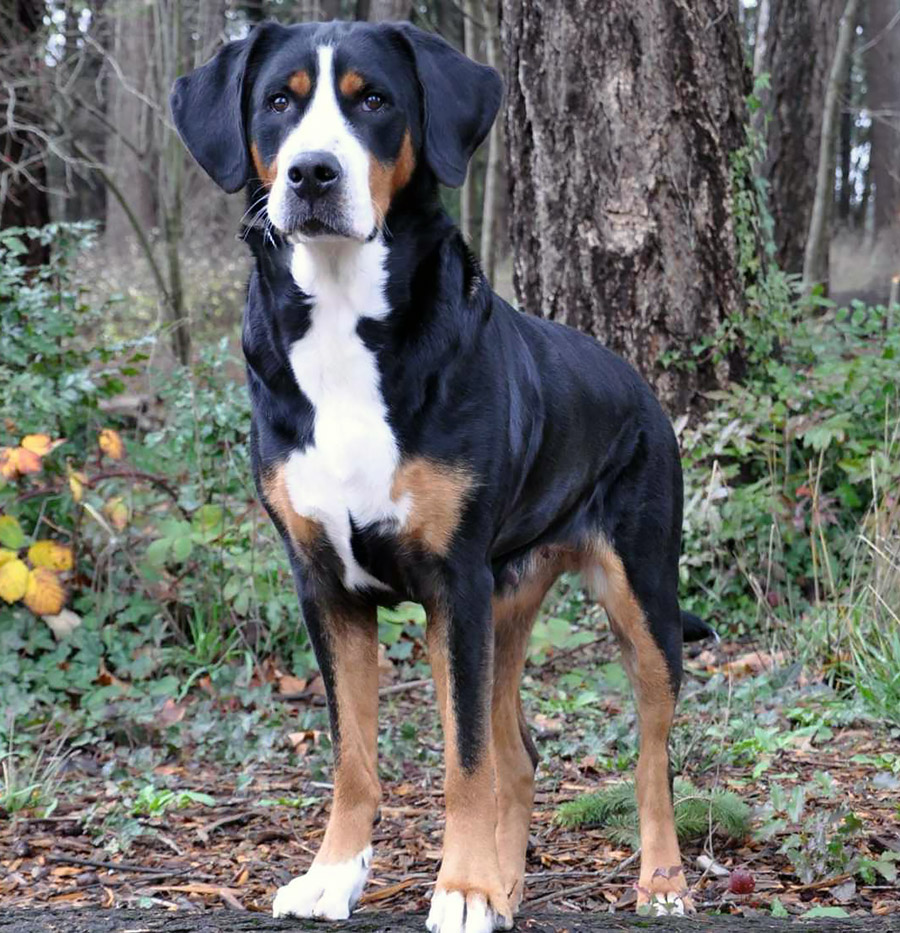 Great Swiss Mountain Dog portrait