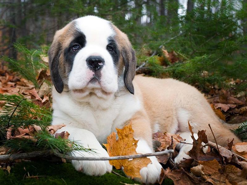 St. Bernard dog puppy