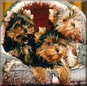 Yorkshire Terrier ' s