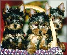 Puppies of Gloria und Waikiki Lady - Click to pedigrees menu