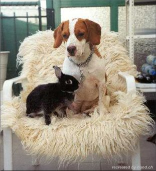 Beagle puppy with bunny