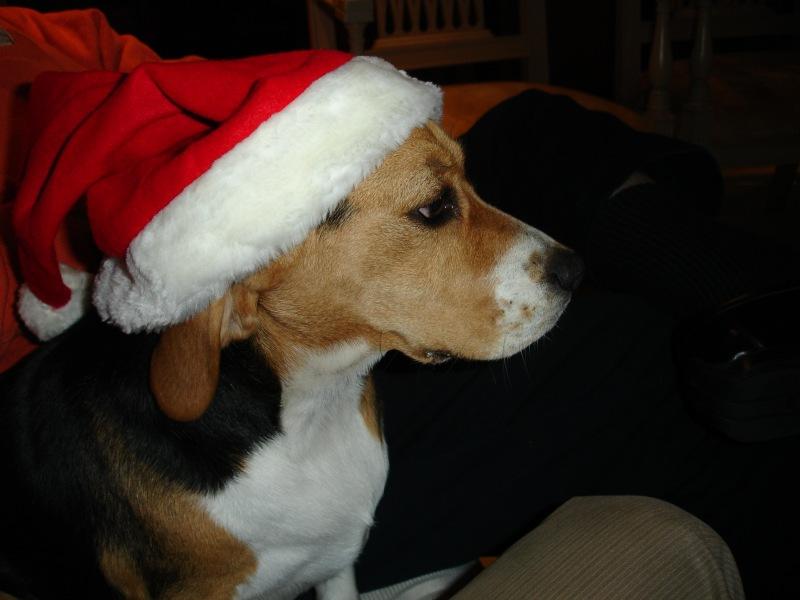 Beagle celebrating