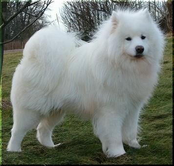 Samojede Hund Bilder
