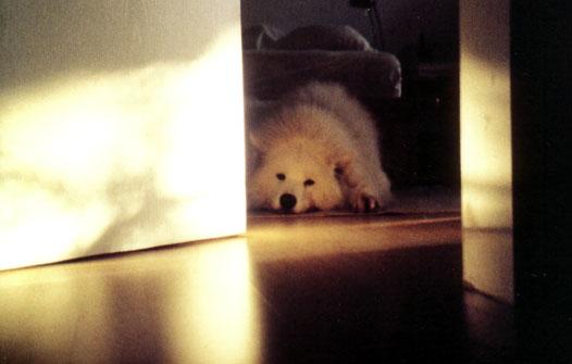 Der nachdenkliche Hund Samojede