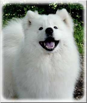 american samoyed smile