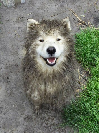 Nascha, ein Wolf? Samojede