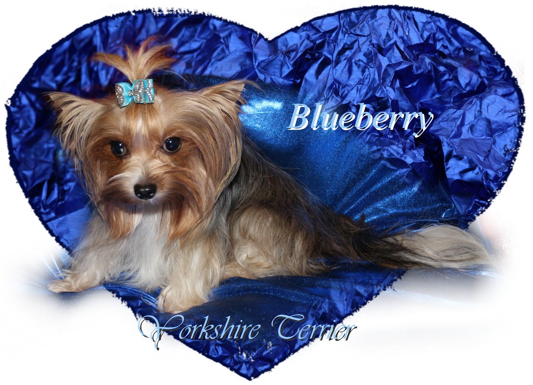 Blueberry Yorki