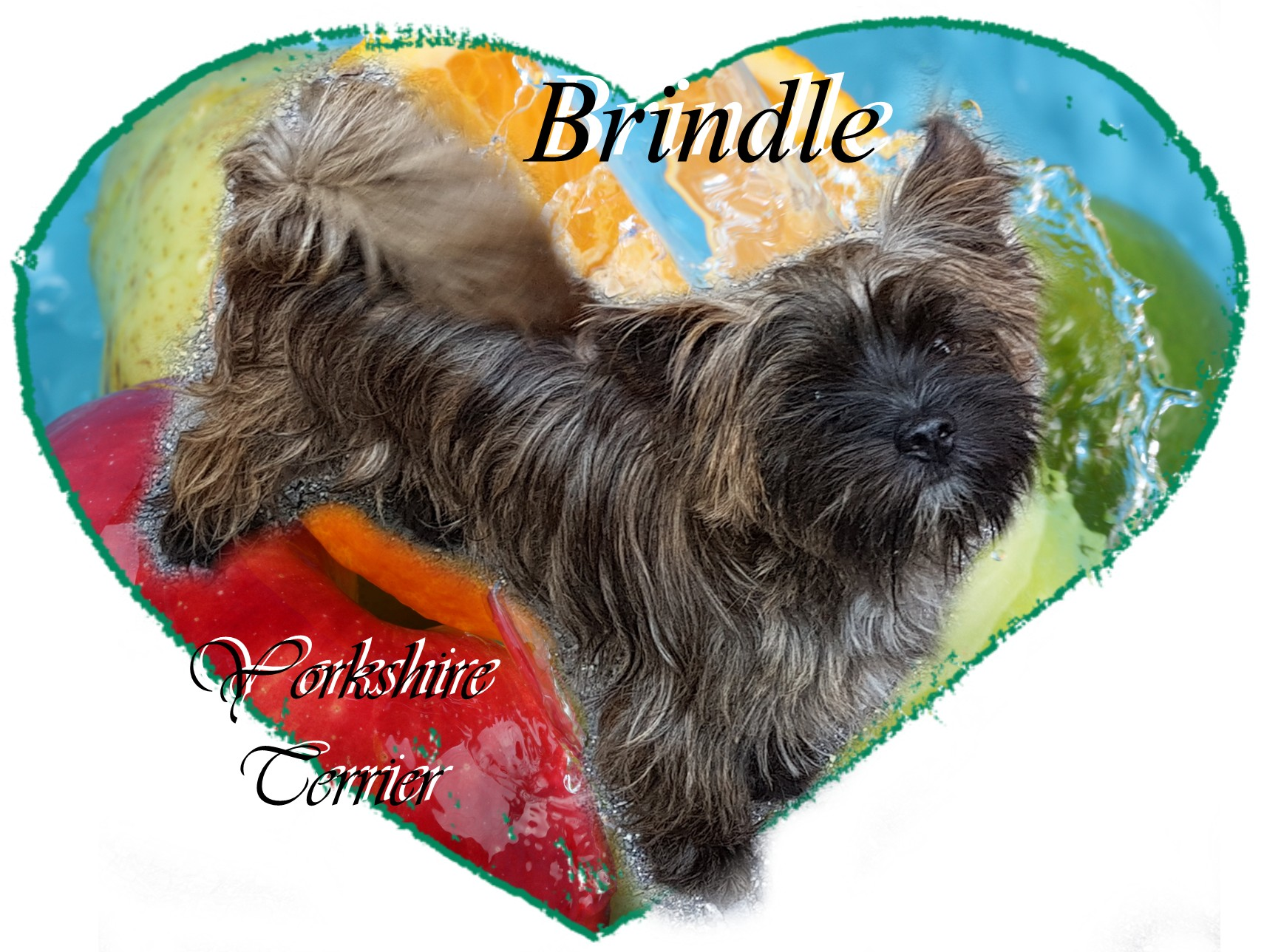 Brindle Yorkshire Terrier