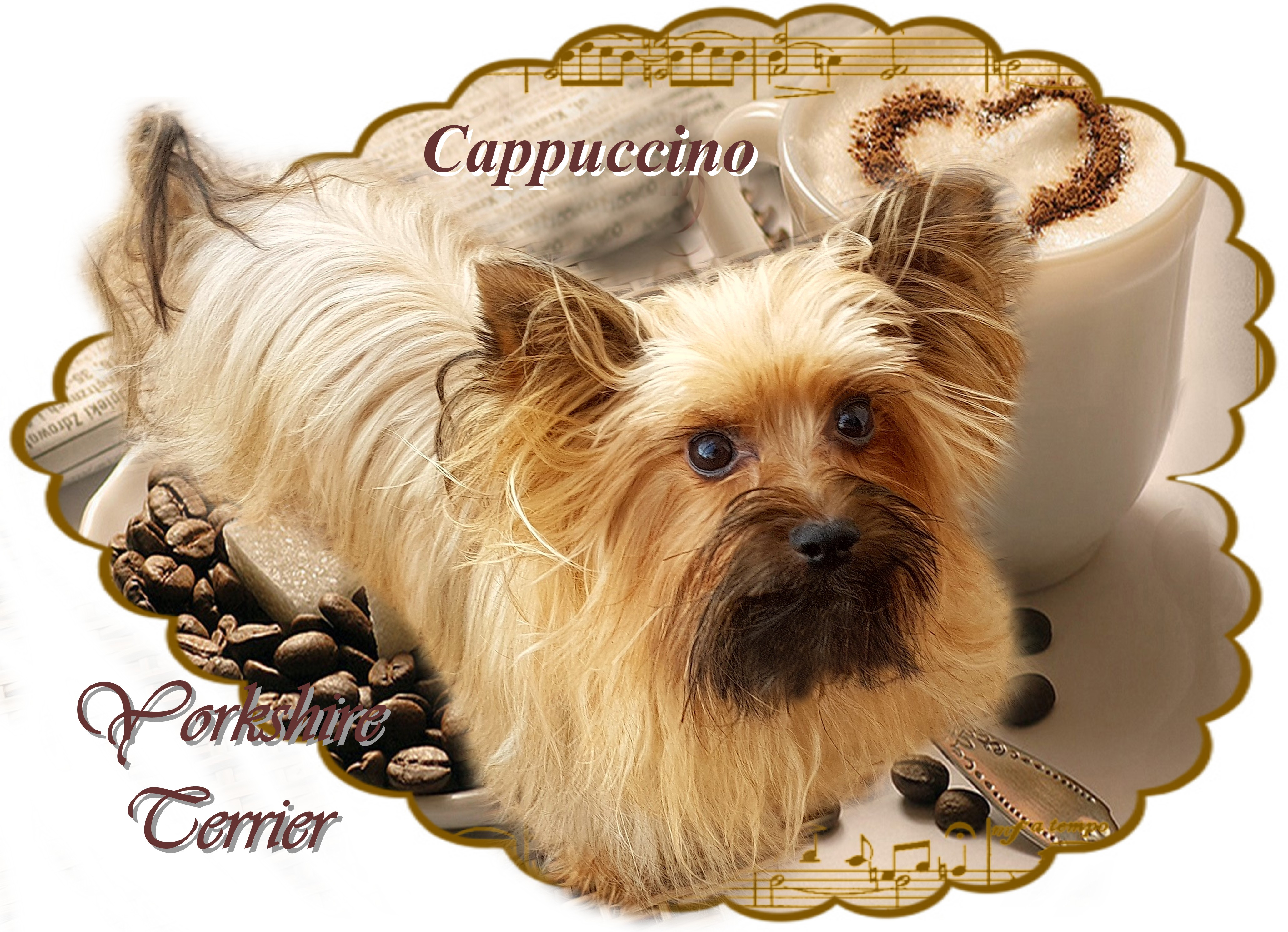 Cappuccino Yorkshire Terrier
