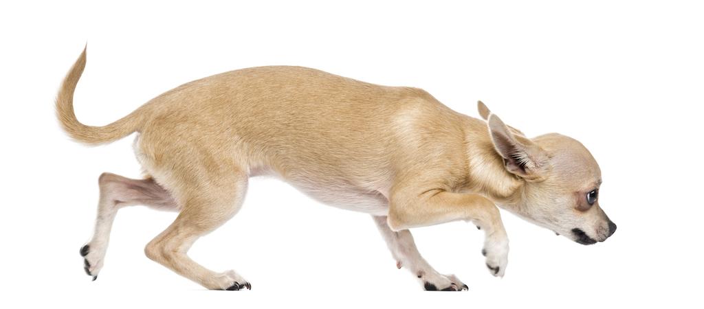 Körperhaltung bei ängstlichen Hunden