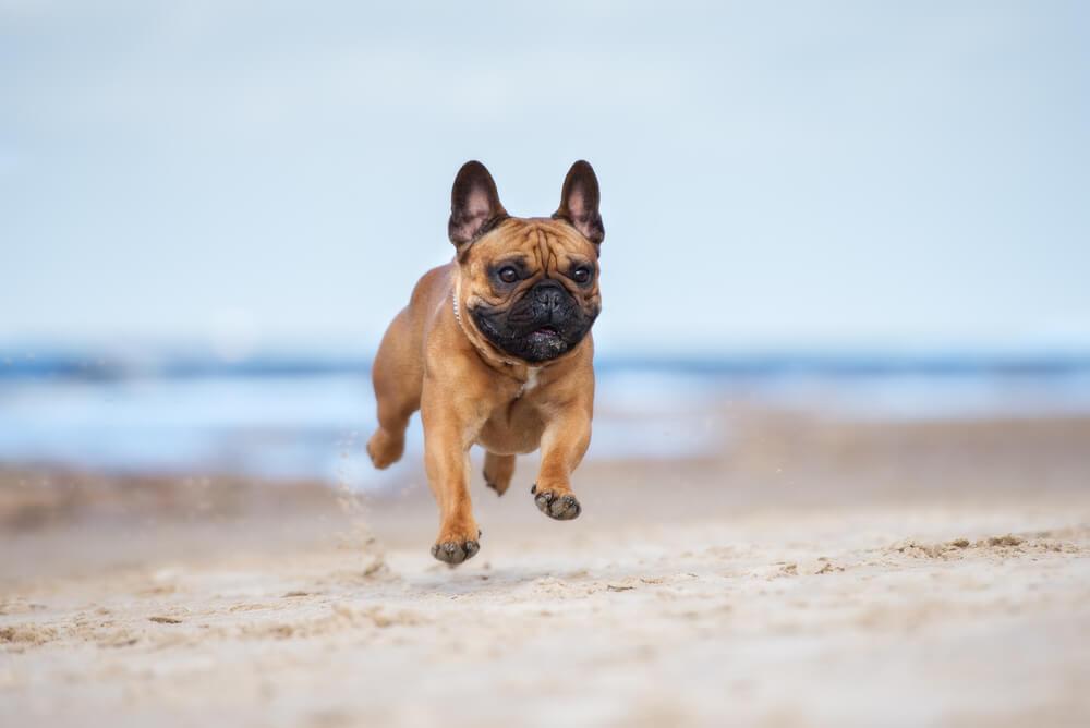 Bulldogge am Strand